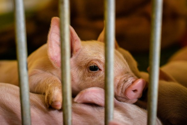 Pictured: a piglet in a cage on a factory farm.