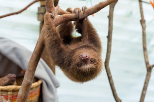 Princesa the two toed sloth at the AIUNA sanctuary, Colombia