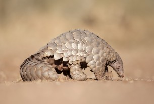 A wild pangolin standing on the dry ground. Its scaly tail is curled up behind it.