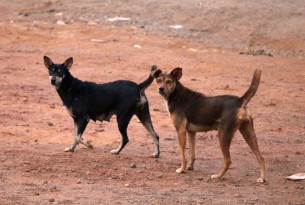 Two stray dogs in Sierra Leone