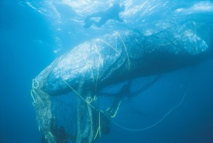 Ghost gear still plaguing ocean wildlife, but big business is making improvements