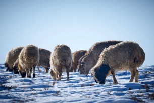 Mongolian animals are suffering at the hands of an extreme winter