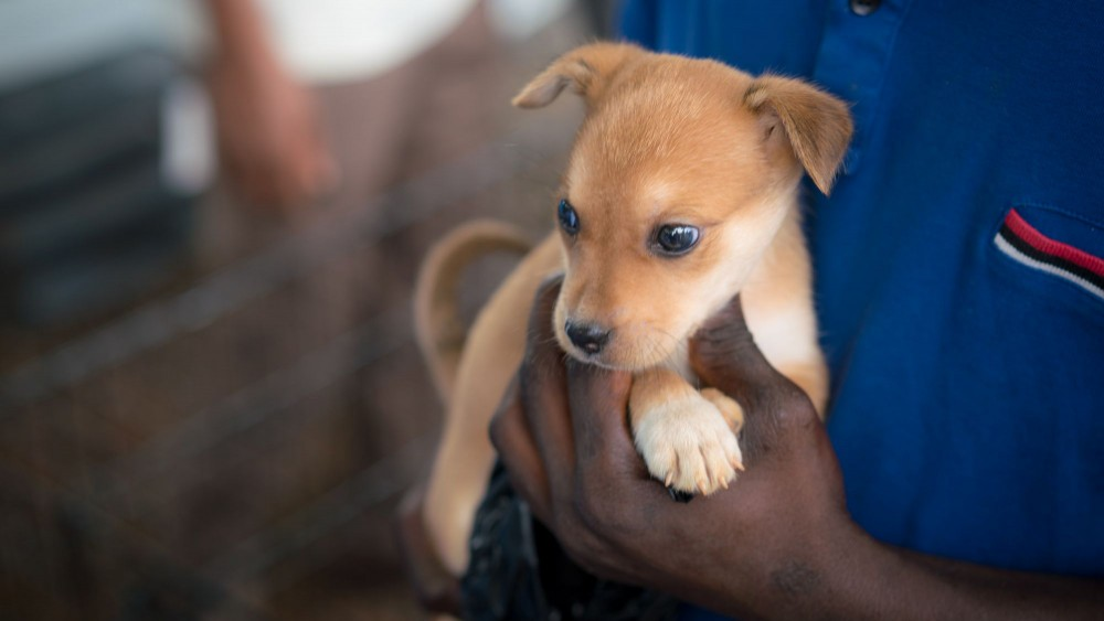 A puppy is brought to get a rabies vaccination in Freetown, Sierra Leone. World Animal Protection has been working with partner group the Sierra Leone Animal Welfare Society (SLAWS) for many years. Credit Line: World Animal Protection / Michael Duff
