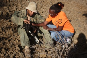 Judy Kimaru helping a goat in Cape Verde - disaster management - World Animal Protection