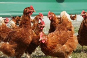 Progress for farm animal welfare as Unilever improves egg-buying policies