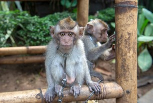 A chained monkey at a tourist attraction in Bali - World Animal Protection - Wildlife. Not entertainers