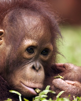 An orangutan orphan at the Nyaru Menteng Rescue and Rehabilitation Centre - World Animal Protection