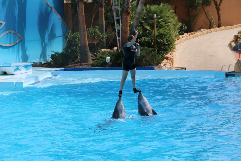 Dolphins performing at cruel dolphin attraction - Wildlife. Not entertainers - World Animal Protection