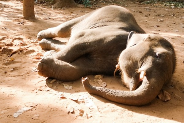 Photo of a starving elephant - Stock image so restrictions apply