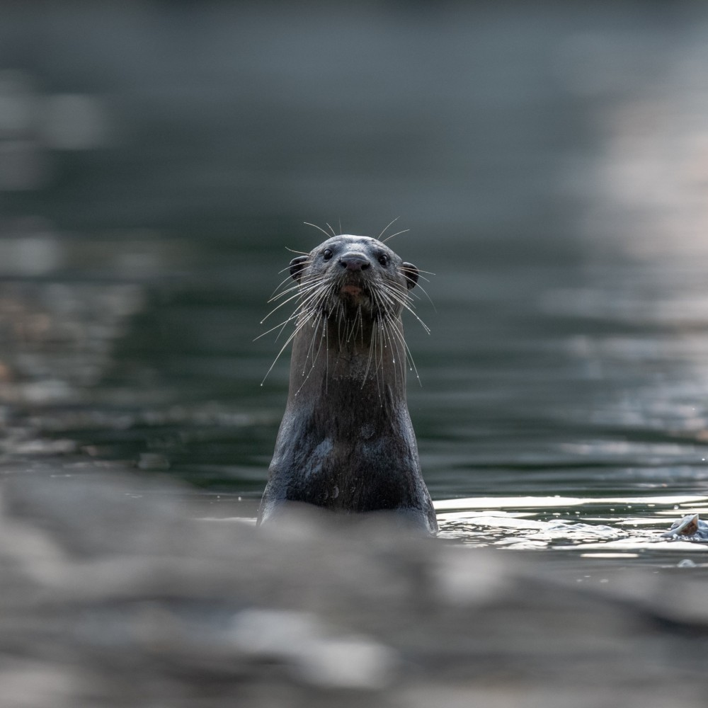 A wild Asian otter peeking out of the river water