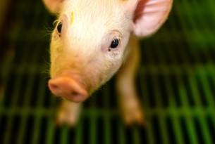 A piglet in a factory farm, standing on green slatted flooring