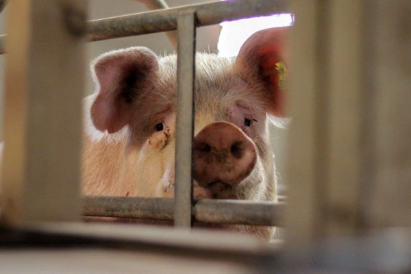 Mother pig suffering on factory farm in cage - Animals in farming - World Animal Protectio