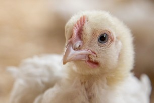 19 day old meat chicken in Kenya - Change for chickens - World Animal Protection