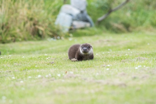 Ranger the rescue otter at Hillswick Wildlife Sanctuary - World Animal Protection