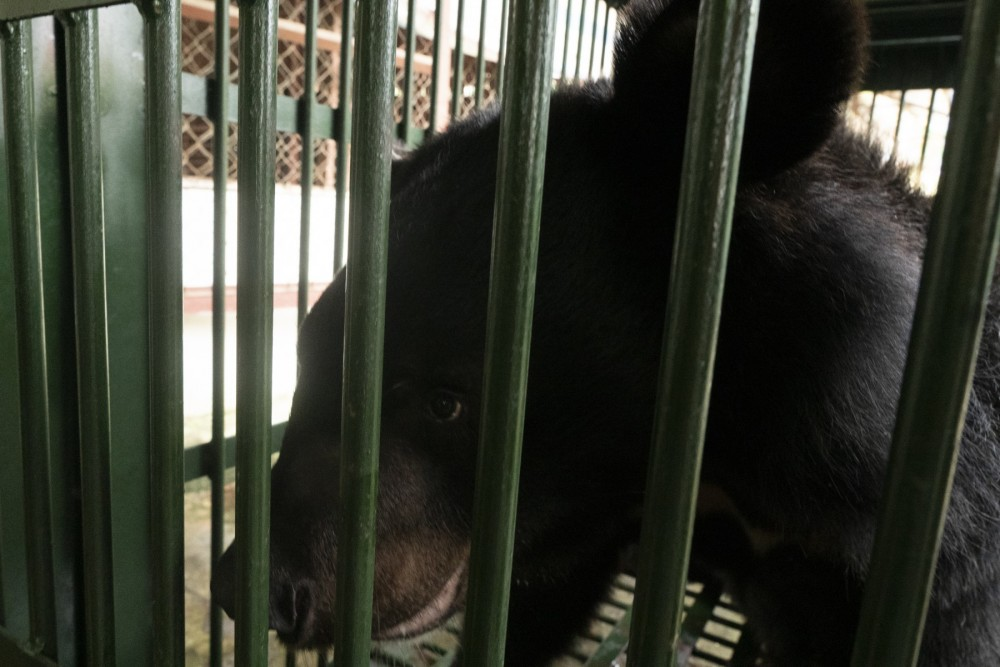 Pictured: This is one of the bears released in 2020 to a Four Paws rescue centre thanks to our ongoing pressure and micro-chipping work