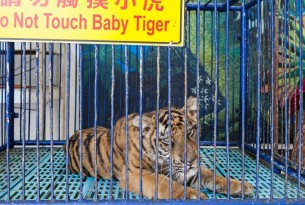 A captive tiger in Thailand used for tourist entertainment.
