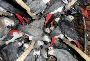 Poached African grey parrots smuggled on Turkish Airlines flights
