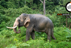 An elephant in Changchill Thailand