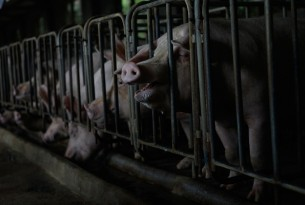 Chinese consumers support better welfare for pigs