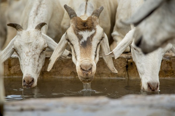 Goats drinking from a water trough - Universal Declaration on Animal Welfare - World Animal Protection