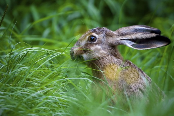 A hare in long green grass