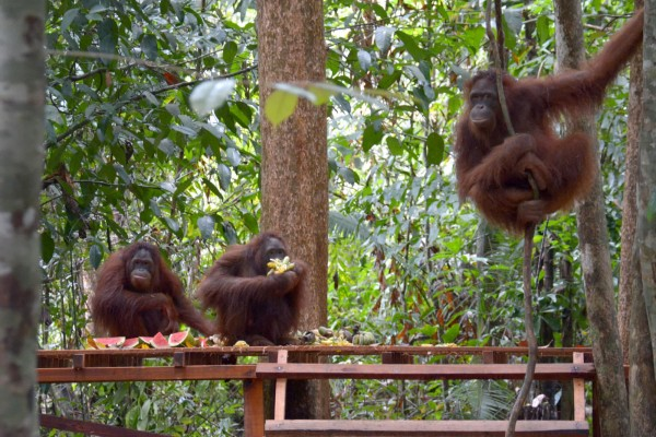 animals in the wild, orangutans