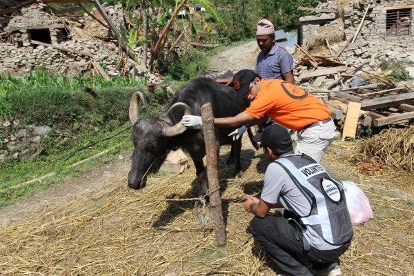 World Animal Protection's Dr. Akash Maheshwari and a volunteer in Nepal helping livestock and local communities following the devastation caused by an earthquake in April 2015