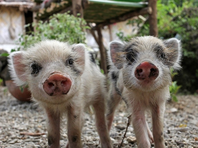 Pictured: Two piglets on a farm.